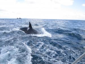 Orque @ Bay of Islands