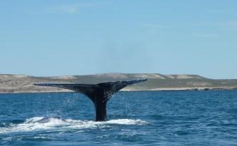 Baleine @ Puerto Piramides